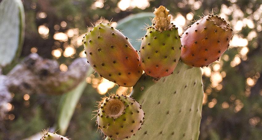 Adéu Formentera Kaktusfrüchte