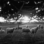 Impressionen Formentera 1960-80 Schafe auf der Weide
