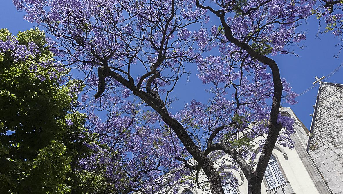 Coimbra Universitätsstadt - Lissabon Notizen Lissabon Jacaranda Baum
